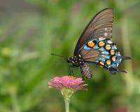 swallowtail pipevine Стоковая Фотография