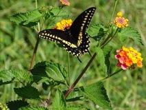 Swallowtail preto fotografia de stock
