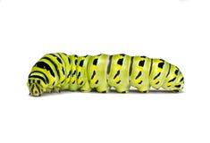 Swallowtail preto Caterpillar em um fundo branco fotos de stock royalty free