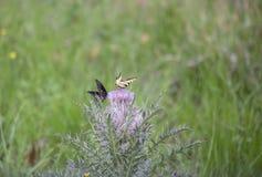 Swallowtail preto e borboletas orientais do swallowtail do tigre imagem de stock royalty free