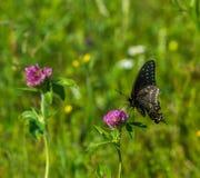 Swallowtail preto em uma flor fotografia de stock royalty free