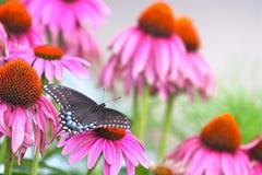 Swallowtail preto entre o Echinacea fotos de stock royalty free