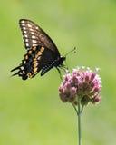 Swallowtail preto III imagem de stock