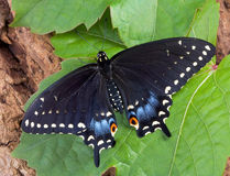 Swallowtail preto na folha fotografia de stock