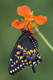 Swallowtail preto na papoila Fotos de Stock Royalty Free