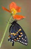 Swallowtail preto que adere-se à papoila imagens de stock royalty free