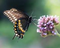 Swallowtail preto V imagens de stock royalty free