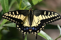 A Swallowtail's Art. Pale Yellow Swallowtail Anise Swallowtail Royalty Free Stock Images