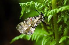 Swallowtail royaltyfri foto