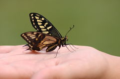 Swallowtail Saved  Stock Image