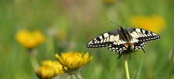 Swallowtail-Schmetterling Stockbilder