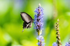 Swallowtail-Schmetterling auf Blume stockfoto