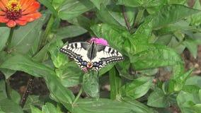 Swallowtail-Schmetterling auf Blumen stock footage