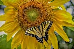 Swallowtail-Schmetterling auf einer Sonnenblume stockbild