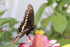Swallowtail-Schmetterling auf Zinnia stockfoto