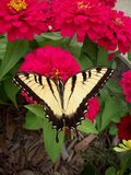 Swallowtail-Schmetterling auf Zinnia-Blume Stockfotos
