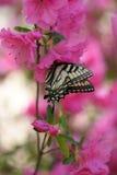 Swallowtail-Schmetterling, der auf rosa Azalee einzieht Stockbild