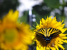 Swallowtail-Schmetterling mit Sonnenblume Stockfotos