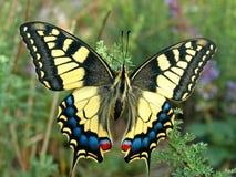 Swallowtail-Schmetterling, Papilio-machaon Lizenzfreie Stockbilder