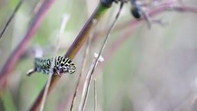 Swallowtail-Schmetterling ` s Gleiskettenfahrzeug Papilio-machaon, das eine Anlage isst stock footage