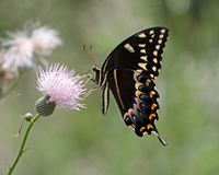 Swallowtail-Schmetterlings-Bestäubungsdistel-Blume lizenzfreie stockfotografie
