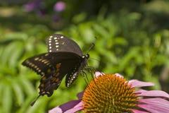 Swallowtail-Schmetterlingsländer auf Echinaceablume Stockbilder