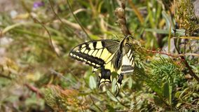 Swallowtail Schwalbenschwanz, Papilio machaon Royaltyfria Foton