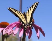 Swallowtail-Snack Stockfoto