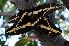 Swallowtail som parar ihop closeupen royaltyfri fotografi