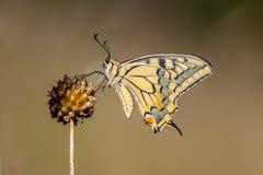 Swallowtail som vilar på Alliumväxten royaltyfri bild