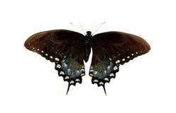 swallowtail spicebush Стоковые Фотографии RF