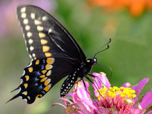 swallowtail spicebush Стоковые Фото
