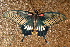 Swallowtail on stone Royalty Free Stock Photo