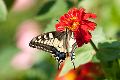 Swallowtail sur la fleur Image stock