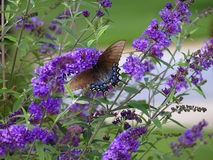 Swallowtail sur le guindineau Bush Photos stock