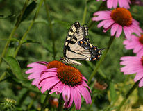 Swallowtail sur une fleur de cône Images stock
