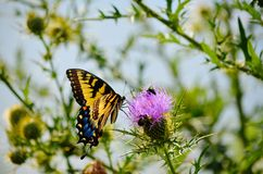 Swallowtail and thistle Royalty Free Stock Photos