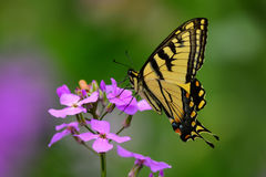 Swallowtail tygrysi Motyl Fotografia Royalty Free