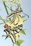 Swallowtail on umbellifera Stock Images