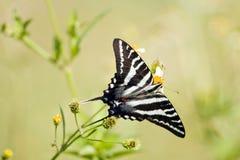 swallowtail umieszczająca zebra Obrazy Royalty Free
