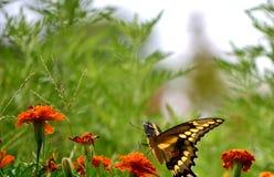 Swallowtail VI Imagenes de archivo