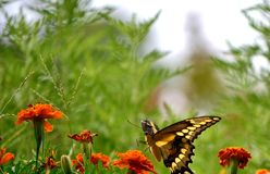 Swallowtail VI Stock Images