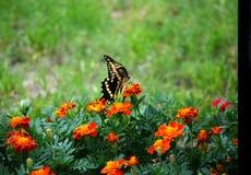 Swallowtail VII stock foto