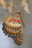 Swallowtail on white cocon Royalty Free Stock Photo