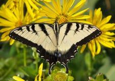 swallowtail wschodni tygrys Zdjęcia Stock