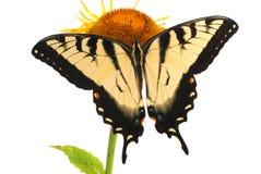 swallowtail wschodni tygrys obrazy royalty free