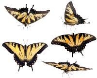 swallowtail wschodni tygrys ilustracja wektor