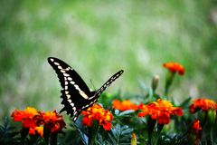 Swallowtail zadek Zdjęcia Stock