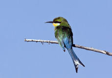 Swallowtailed Bee-eater - Botswana Royalty Free Stock Photo