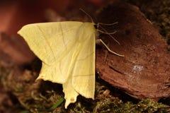 Swallowtailed moth. Stock Photo